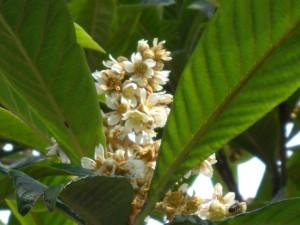 branche du néflier du japon en fleurs